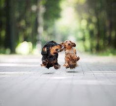 end0skeletal: Levitation! by Ksuksa-Raykova #dachshund