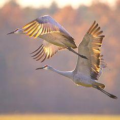 Grullas. Estos estarán volando sobre Illinois este mes en su migración de retorno