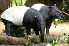 Singapore Zoo - Exhibits & Zones - Exhibits - Tapir