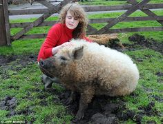 """Curly-haired pigs! Who knew? """"Elizabeth"""" is an Austrian Mangalitza Gilt. I bet she never ends up as bacon :)"""