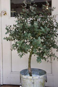 How to Grow Eucalyptus