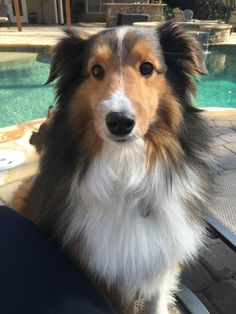 Sheltie at the pool