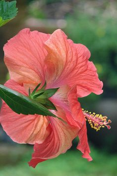 Hibiscus. Gorgeous plant. My son bought me one of these. It is a tree now.