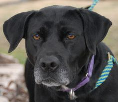 02/16/14 Remi  Labrador Retriever Mix • Adult • Female • Large  Canyon Lake Animal Shelter Society Canyon Lake, TX