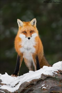 Red Fox Confrontation #PatrickBorgenMD