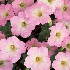 Proven Winner  Supertunia® Mini Appleblossom Petunia hybrid