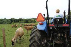Cowbella Farm's Jersey cows. Schoharie County NY. Photo: Ileana Montalvo Loisaida Nest