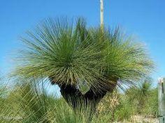Xanthorrhoea preissii - feature plant.