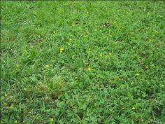 Clover, Wild Violets, Creeping Charlie, Gorund Ivy   Michigan Lawn Fertilizing : Contender\'s Tree & Lawn Service