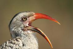 Red billed Hornbill Angry Birds, Pet Birds, Love Birds, Beautiful Birds, South African Birds, Red Bill, All Gods Creatures, Bird Feathers, Paradise