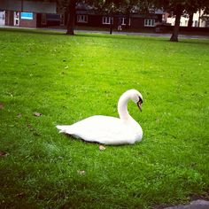 Lonely swan @Stratford up-on avon