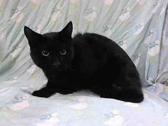 TO BE DESTROYED 8/23/14 ** MUST SEE VET!! Distal Left femur fracture (unable to walk with left hind limb) ** Brooklyn Center  My name is AMBER. My Animal ID # is A1011106. I am a male black domestic sh mix. The shelter thinks I am about 1 YEAR  I came in the shelter as a STRAY on 08/18/2014 from NY 10467