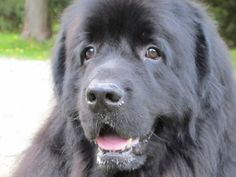 Schultz is an adoptable Newfoundland Dog Dog in Brantford, ON. This gorgeous Newf is in the care of NEWF FRIENDS Newfoundland dog rescue -- please direct all inquiries to them via their website www.ne...
