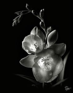 Freesia in Black and White