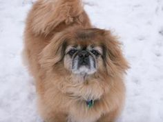 Chimmy is an adoptable Pekingese Dog in Morrison, CO. 9-year-old male.