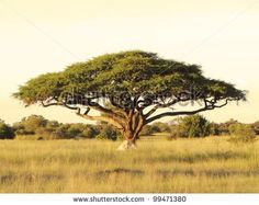 An acacia tree on the Serengeti Plain. beautiful located in tanzania Acacia, Grassland Habitat, African Plants, Fast Growing Trees, List Of Animals, Wild Animals, Animal Habitats, Photo Tree, Savannah Chat