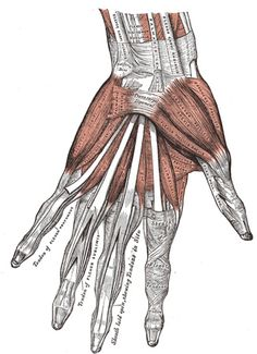 """WHOAZ, GUYS -- we do not actually have muscles our fingers; the muscles that control them are in our palms and mid-forearms and are connected to the finger bones by tendons. these muscles are very strong: """"the biomechanics of the hand require that the force generated by the muscles which bend the fingertips must be at least four times the pressure which is produced at the fingertips."""""""