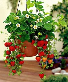 Planters aren't just for decoration ! Strawberries