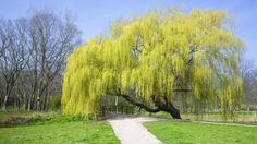 Weeping Willow (Salix sepulcralis) blossoming in a park, Den Helder, Netherlands