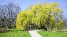 Weeping Willow (Salix sepulcralis) blossoming in a park, Den Helder, Netherlands