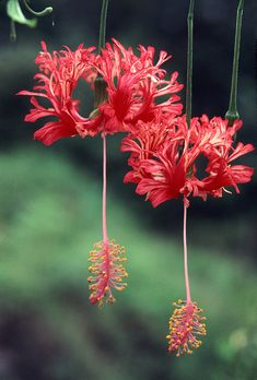 Hibiscus schizopetalus by Philip Bouchard
