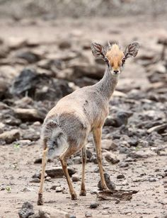 34 Best Dik Diks Images In 2019 Deer Dik Dik Antelope Wild Animals