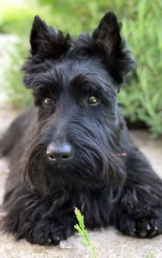 1 Year old ! 'Notre Max' / scottie. Probably the most beautiful in the world.