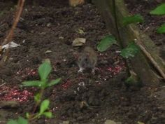 Rodent in the gardens along Canal St. Martin Gardens, Paris, Animals, Montmartre Paris, Animales, Animaux, Outdoor Gardens, Paris France, Animal