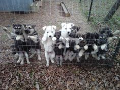 I want one of those white german shepard pups. I'll name him Bolt and he will guard me