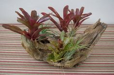 Table centerpiece / decoration with bromeliad, airplant, natural wood Tropical Centerpieces, Centerpiece Decorations, Table Centerpieces, Driftwood Centerpiece, Driftwood Planters, Natural Wood Table, Patio Table, Air Plants, Bloom
