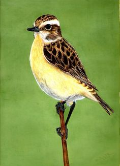 Whinchat in Autumn Plumage - Drawing by Eula Wilkin (Original)  Water soluble Caran D'Ache Supracolor Soft Aquarelle Pencils & Gouache  on 180gm Cartridge Paper.   Unframed. Drawn area 20cm by 29cm