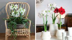 Undrar du hur du tajmar att amaryllis, hyacinter och andra julblommor slår ut och håller sig fina ända fram till juldagarna? Trädgårdsmästaren Victoria Skoglund ger sina bästa knep!
