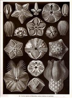 Ernst Haeckel STARFISH