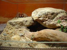Tarantula Habitat, Tarantula Enclosure, Reptile Enclosure, Rainforest Habitat, Reptile Habitat, Reptile Room, Vivarium, Paludarium, Reptiles