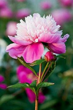 Perennials plants survive the winter and many produce beautiful flowers. Here is useful advice on growing perennials. Amazing Flowers, Pink Flowers, Beautiful Flowers, Beautiful Gorgeous, Exotic Flowers, Yellow Roses, Pink Roses, Peony Flower, My Flower