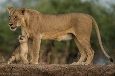 Cub n mom re-united! by Kanwar Deep Juneja on 500px