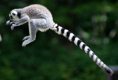 Ring tailed lemur | Flickr - Photo Sharing!