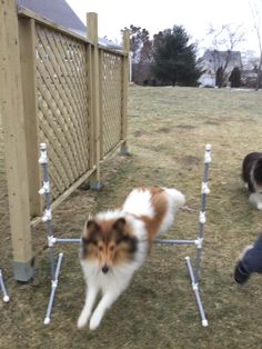 Sheltie going over a jump Agility Training, Dog Agility, Sheltie, Corgi, Animals, Corgis, Animales, Animaux, Animal