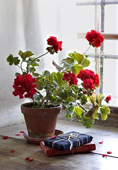 Beautiful capture by photographer Christine Bauer. Geraniums are such an earthy pleasure. -- Eve.                                                                                                                                                     More