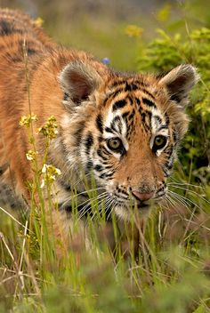Young tiger on the prowl