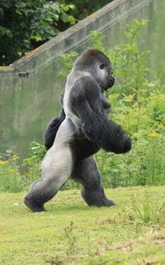 Ambam, the famous walking western lowland gorilla