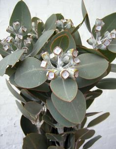 Eucalyptus tetragona - silver grey gum nuts. Available March to August