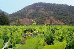 Propiac gebied van wijnstokken