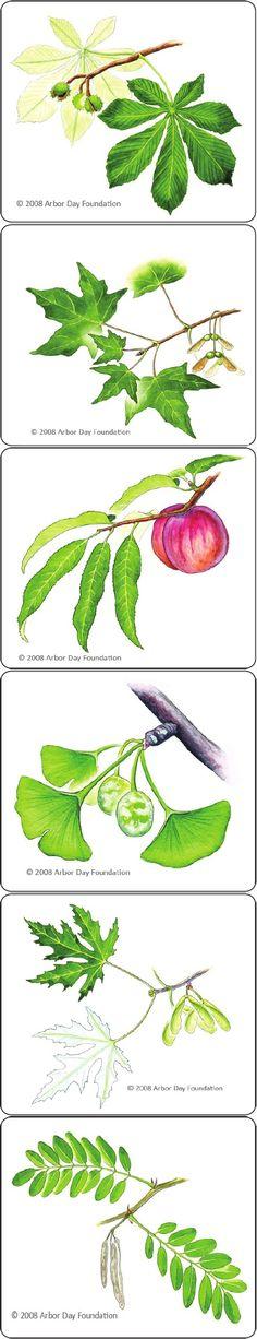 Printable Tree Leaf Identification Card Game