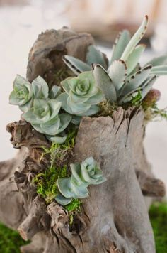 a hollow piece of driftwood as a planter for succulents - Sun and Garden Succulent Planter Diy, Succulent Landscaping, Succulent Centerpieces, Succulent Arrangements, Diy Planters, Cacti And Succulents, Hanging Planters, Cactus Plants, Driftwood Planters