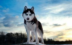 Husky kutyus