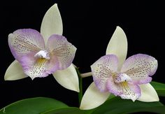 Orchid: Cattleya - © by j.lacerda