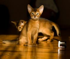 Abyssinian Kitten cat #cat #cute #kitten #bestfriends #love #animal #friends #pet #family #kedi #birkediistiyorum #happy #fun #smile #nature