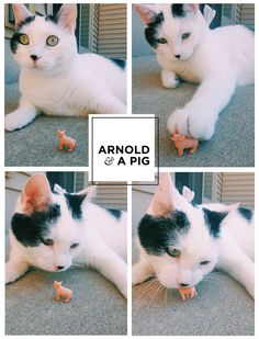Arnold and a pig