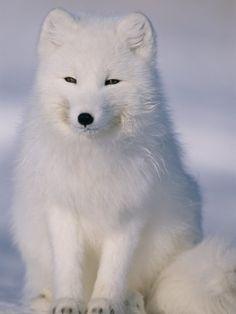 The Arctic Fox, Vulpes Lagopus Nature Animals, Animals And Pets, Baby Animals, Funny Animals, Cute Animals, Wild Animals, Beautiful Creatures, Animals Beautiful, Arctic Fox